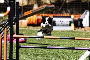 Els gossos més àgils d'Europa seran a Guardiola de Berguedà la setmana vinent